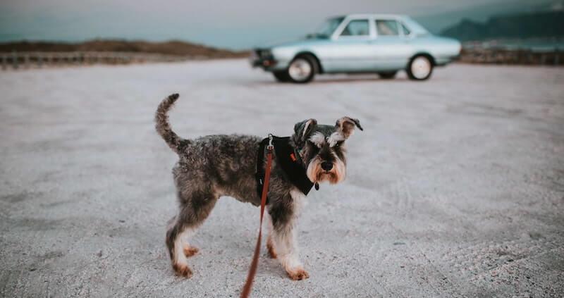 Der Schnauzer Hunderasse