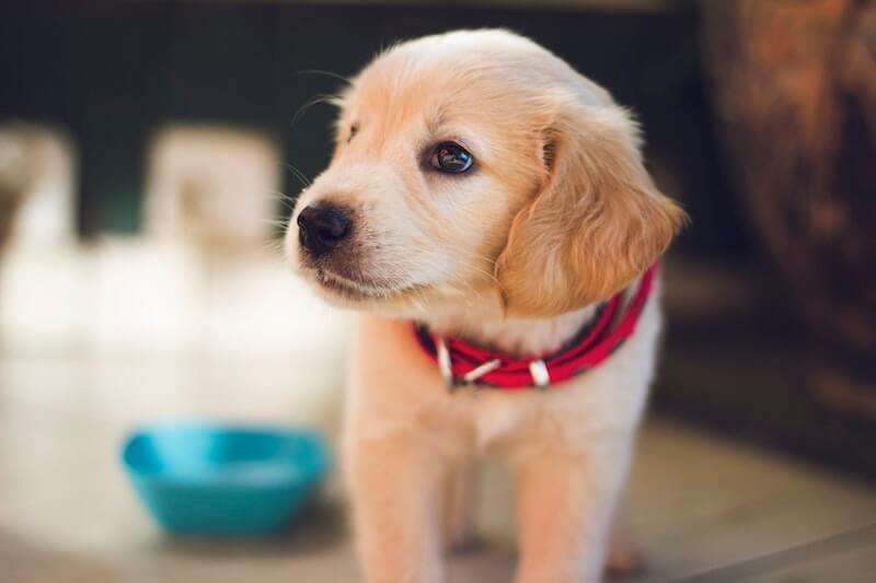 Hundewelpe mit rotem Halsband