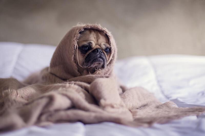 Mops im Bett