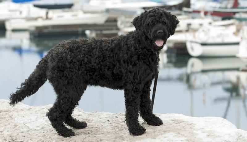 Portugiesischer Wasserhund Hunderasse