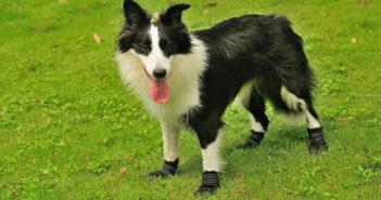 Pfotenschutz beim Hund Ratgeber und Tipps