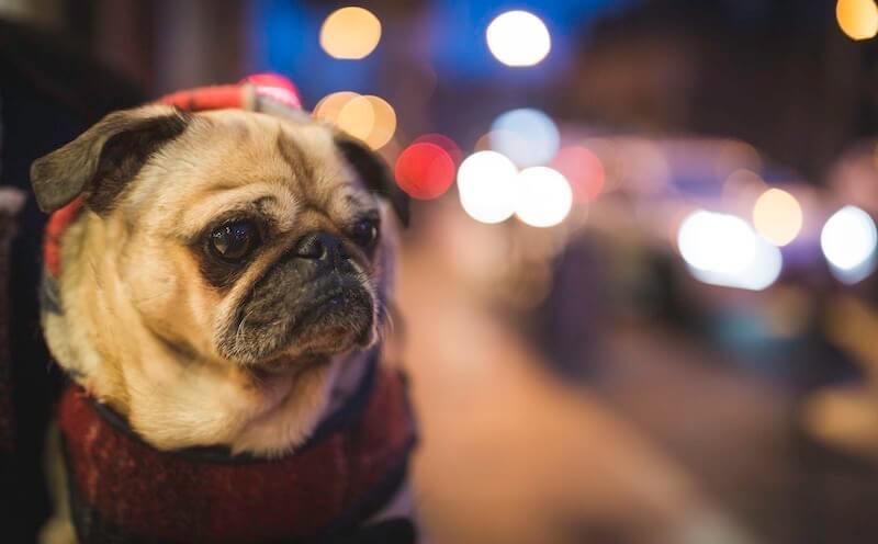 Trauriger Hund mit Hundepullover
