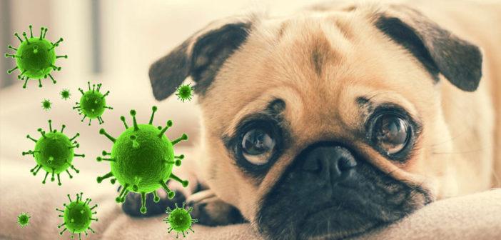 Hund und Coronavirus: Ratgeber, Tipps & Rechtliches